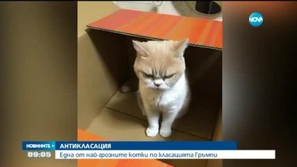Нацупената Коюки – една от най-грозните котки