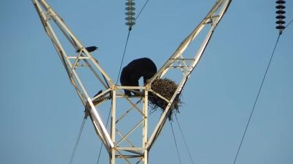 Мечка се качва на електрически стълб заради гнездо!