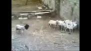 Овца Лунатик