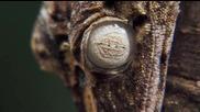 Магадаскарски листоопашат гекон - Невидим за човешкото око..