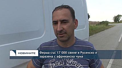 Ново огнище на чума по свинете беше открито в индустриална ферма край Русе