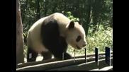 Две гигантски панди ще бъдат изпратени в зоопарк в Сингапур