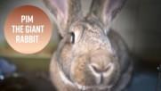 8-килограмовият супер сладък заек Пим