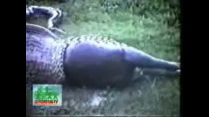 Ужасно! Змия изяжда хипопотам!?