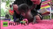 САЩ: Ще намери ли нова майка сладкото бебе шимпанзе Кива?
