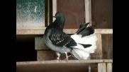 Прекрасни Гълъби