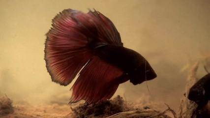 Бой между Сиамски бойни риби