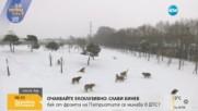 Сибирски тигри гонят дрон