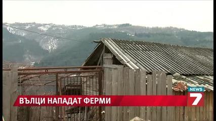 Вълци нападат обезлюдени села в Благоевградско