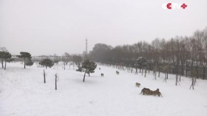 Сибирски тигри атакуват дрон!