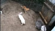 Неканен гост при зайците