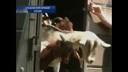 Саудистки фермер продаде козела си за 3,5 милиона долара