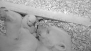 Бебе полярно мече отваря очи за първи път