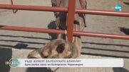 Камилите в България: Какви грижи трябва да се полагат за тях? - На кафе (30.07.2021)