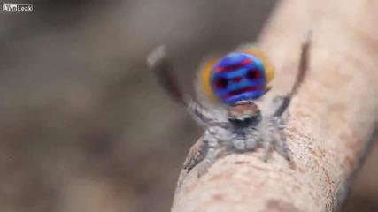 Танцът на паяка-паун