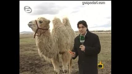 Тежката съдба на камилата