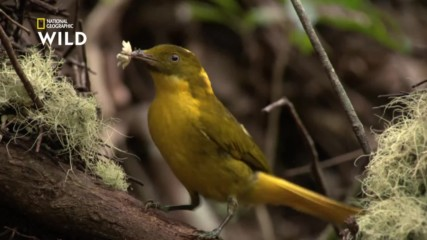 Златистата беседкова птица