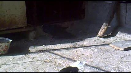 Паламарски Гълъб [ Arap ]- На Топи