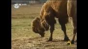 Господари На Ефира - Камилите На Границата High Qualit