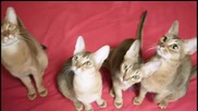 Абисински Котки