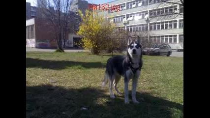 Моето Куче Хъски