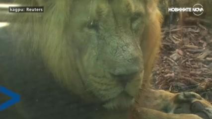 Лъвчета тризнаци радват посетителите на зоопарка във Франкфурт