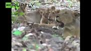 Застрашен Азиатски лъв роди, след като наводнение уби 10 други от прайда
