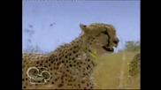 Африканските котки - Disney Nature Е01 Бг Аудио