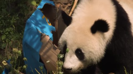 Гигантска панда празнува втори рожден ден във виенския зоопарк
