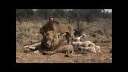 Kevin Richardson - Говорещият С Лъвове