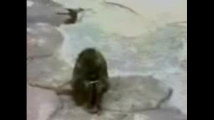 маймуна 100% смях