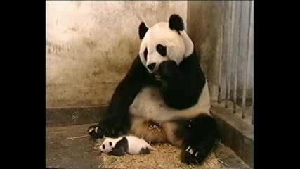 Бебе панда киха и стряска майка си:):)