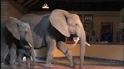 Слонове преминават през рецепцията на хотел в Замбия