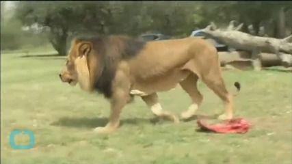 Massive Search for Missing South African Lion