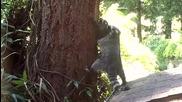 Миеща мечка учи малкото си да се катери по дърво