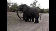 Бебе слонче се изплашва само