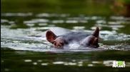 Семейство приютява и се грижи за хипопотама Джесика след загуба на майка си