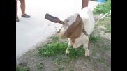 Козел обича да пие бира - Смях !