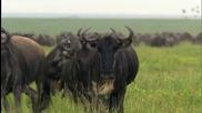 антилопи гну - Bbc One