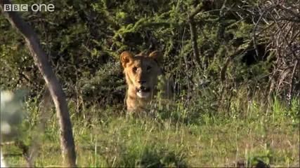 Аборигени крадат храна от лъвове
