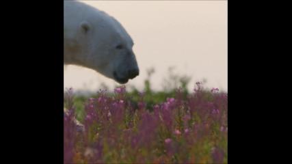 Белите мечки