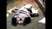 Панда Ляга Да Спи...(смях)