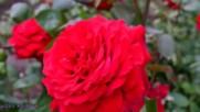 Рози и нежна песен