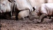 Няма нищо по-очарователно от бебче носорог!