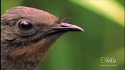 - Bird Mimics Chainsaw, Car Alarm and More Hd
