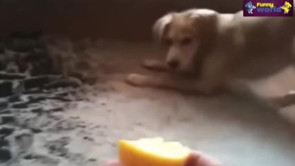 Повечето Смешни Кучета Реагират На Лимони Компилация 2015 - Кучета 2015 - 720p