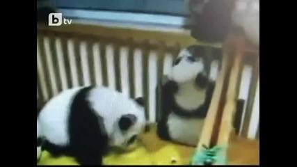Боричкащи се бебета панди
