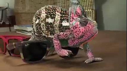 Хамелеон се променя трябва да се види!!!