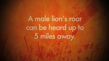 Big Cats Love - Lion's Roar