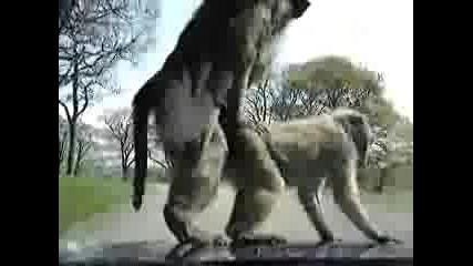 Маймуни правят секс върху кола